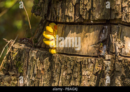 Yellow fungi on girdled tree where the bark should be. Bracket fungi or shelf fungi grows in various sized tiers and gets larger than this new one. - Stock Photo