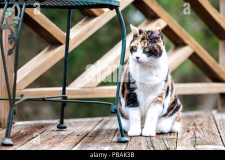 Curous old calico cat sitting on wooden deck looking on terrace, patio in outdoor garden house on floor by metal chair - Stock Photo