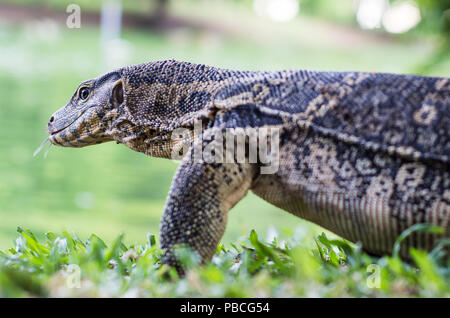 Alligator sized Lizard in Lumphini Park, Bangkok, Thailand - Stock Photo