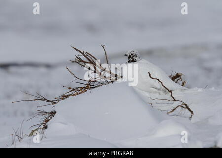 Adult male rock ptarmigan, Lagopus mutus, surveying its territory while sitting in snow with willow branches in the background, Arviat, Nunavut - Stock Photo