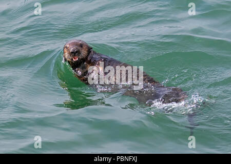 Sea otter at Moss Landing State Beach - Stock Photo