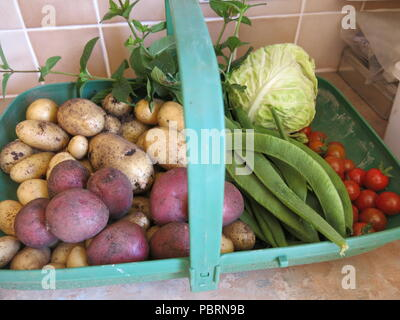 A trug full of freshly picked vegetables, the first harvest in summer 2018 from a small garden plot; new potatoes, beans, tomatoes, mint and cabbage - Stock Photo