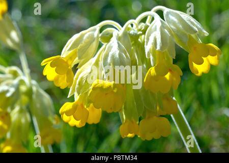 Cowslip (primula veris), close up of a back lit flower head. - Stock Photo