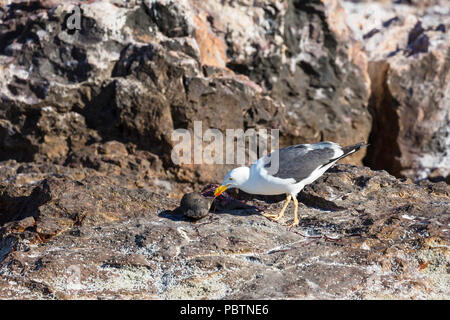 Adult yellow-footed gull, Larus livens, feeding on a sea lion pup, Isla Rasa, Baja California, Mexico. - Stock Photo