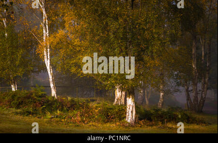 The bright trunks of Silver Birch shine out of the woodland depths.e - Stock Photo