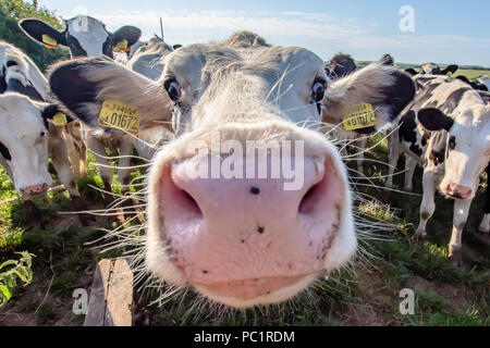 White cow close up portrait on pasture.Farm animal looking into camera with wide angle lens.Funny and adorable animals.Cattle Uk.Funny cows. - Stock Photo