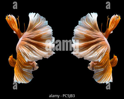 Capture the moving moment of white siamese fighting fish isolated on black background - Stock Photo