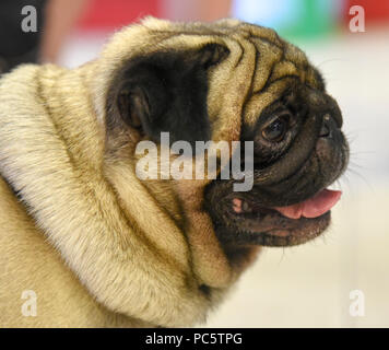 Portrait of a pug a small dog with a wrinkly, short-muzzled face, and curled tail. - Stock Photo