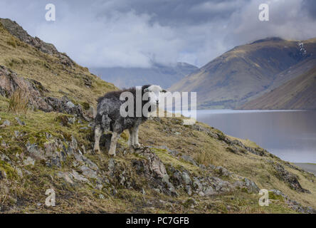 A Herdwick ewe, Wast Water, Wasdale, Cumbria, Lake District National Park, England. - Stock Photo