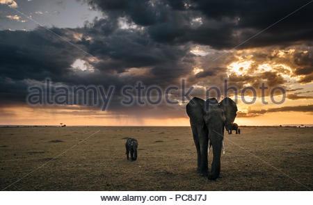 African elephant with her calf, Loxodonta africana, walking on savanna. - Stock Photo
