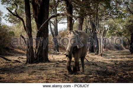 African elephant, Loxodonta africana, feeding on foliage. - Stock Photo