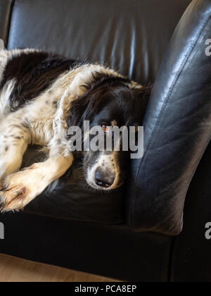 Border collie mixed-breed, black and white, laying on leather couch. - Stock Photo