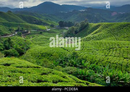 Tea plantations in Cameron Highlands, Pahang, Malaysia - Stock Photo