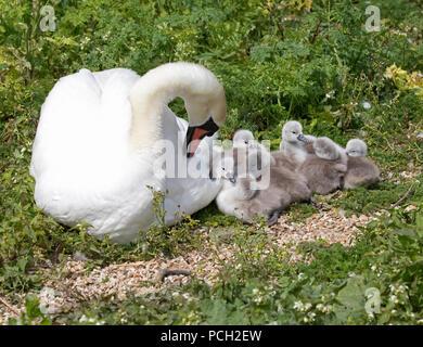 Mute swan Cygnus olor on nest with cygnets Abbotsbury Swannery Dorset - Stock Photo