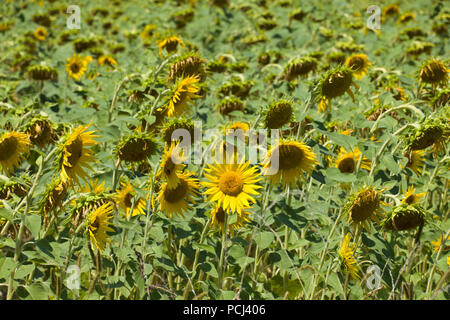Fields of sunflowers  near to the town of Lisle-sur-Tarn, Tarn, Occitainie, France ripening in the summertime - Stock Photo