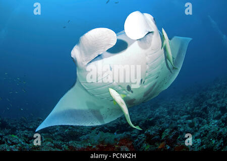 Giant oceanic manta ray (Manta birostris) with shark suckers (Remora remora), Yap, Micronesia - Stock Photo