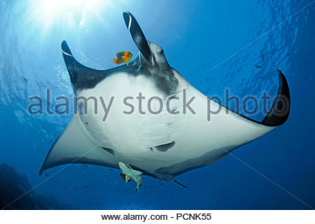 Giant oceanic manta ray (Manta birostris), shark suckers (Remora remora), Clarion angelfish (Holacanthus clarionensis), San Benedicto Island, Mexico - Stock Photo