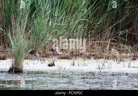 Echasse blanche - poussins - Black winged Stilt - chicks - Himantopus himantopus - Stock Photo