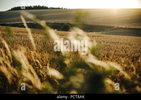 rich wheat field during sunset - Stock Photo
