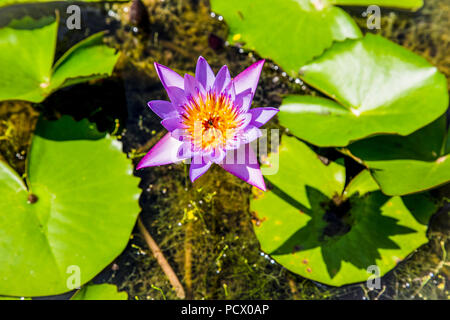 Pink lotus flower bud in a pond. Peace scene in a countryside. Sri Lanka. - Stock Photo