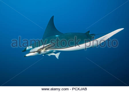 Spiny mobula or Chilean devil ray (Mobula tarapacana) with remoras (Echeneidae), Santa Maria island, Azores, Portugal - Stock Photo