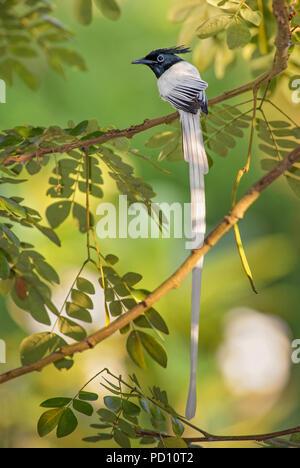 Asian Paradise-flycatcher - Terpsiphone paradisi, beautiful black headed passerine bird from Sri Lankan woodlands and gardens. - Stock Photo