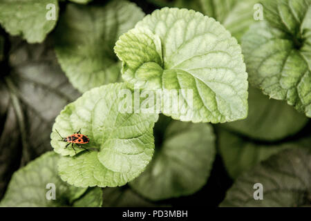 Red bug on green leaf defocused background, hight resolution. - Stock Photo
