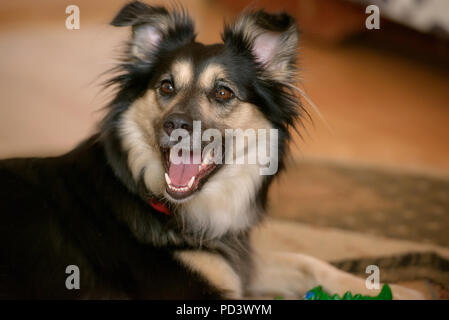 Cropped shot of a Border Collie cross-breed dog, a cute pup in black and tan, sitting and looking curiously with mouth open - Stock Photo