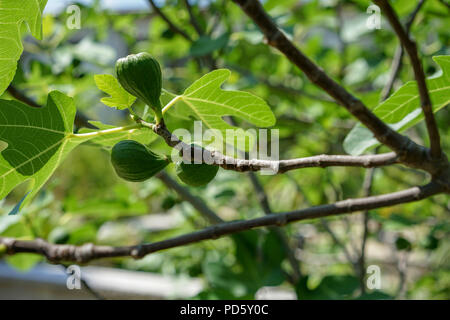 ripe fruit on fig tree, ficus carica moraceae from mediterranean europe - Stock Photo