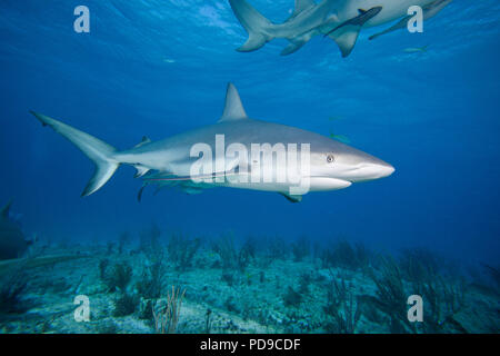 This Caribbean Reef Shark, Carcharhinus perezi, was attracted to Mr. Fleetham's camera with the use of bait.  Sharks are generally shy, cautious creat - Stock Photo