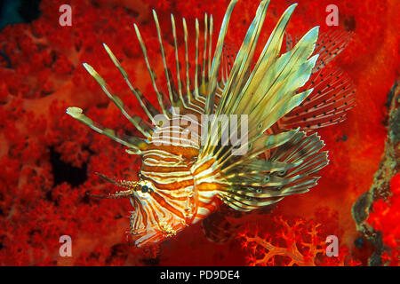 Gewoehnlicher Rotfeuerfisch (Pterois volitans) vor roter Weichkoralle (Alcyonacea), Sudan | Red Lionfish (Pterois volitans) in front of a red soft cor - Stock Photo