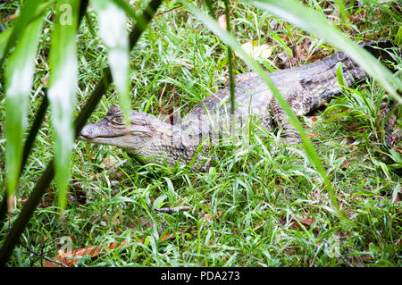 A Caiman relaxes on the banks of the river Amazon. - Stock Photo