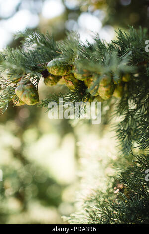 Small pine cones on a tree in Italy - Stock Photo
