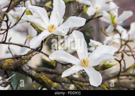 Pink or white flowers of blossoming magnolia tree (Magnolia stellata) in the springtime - Stock Photo
