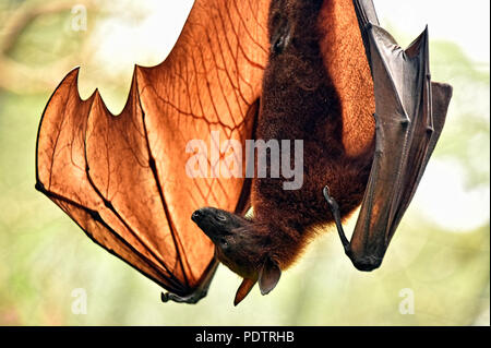 Bats of the genus Pteropus are among the largest bats in the world. They are commonly known as fruit bats or flying foxes. - Stock Photo