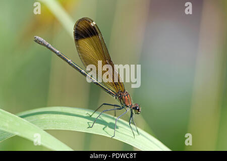 Copper Demoiselle (Calopteryx haemorrhoidalis) - Garrigue - Southern France Calopteryx mediterraneen - Stock Photo