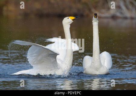 Koppel wilde zwanen met paringsritueel.A pair of Whooper Swans with courtship display. - Stock Photo