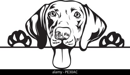 Weimaraner Dog Breed Pet Puppy Isolated Head Face - Stock Photo