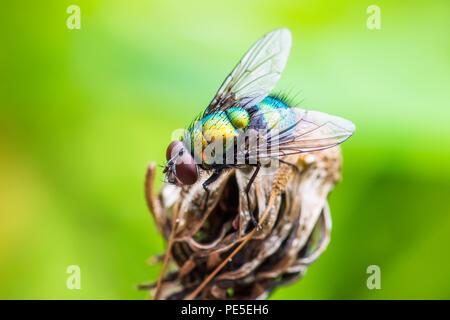 Exotic Drosophila Fruit Fly Diptera Insect on Plant - Stock Photo