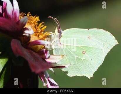 A female Brimstone butterfly (Gonepteryx rhamni) feeding on nectar from an open flowered dahlia. Bedgebury Forest, Kent, UK. - Stock Photo