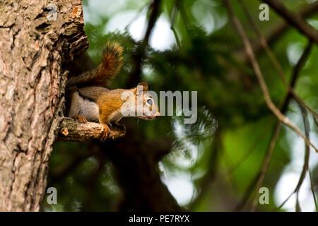 American red squirrel (Tamiasciurus hudsonicus) in a tree. - Stock Photo