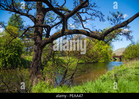 Tree near the river Devon near Alloa Scotland stained black byBaudoinia compniacensis a whisky fungus. - Stock Photo