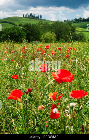 Close Up View of Red Poppies in a Field, Tuscany, Italy - Stock Photo