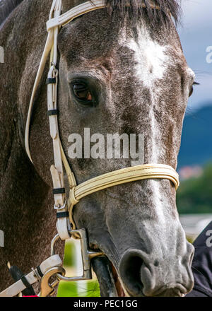 Close-up of gray horse before the race. - Stock Photo
