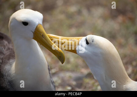 Waved Albatross Courtship - Stock Photo