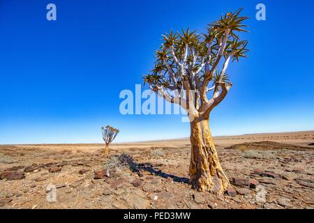 Aloidendron dichotomum, formerly Aloe dichotoma, the quiver tree or kokerboom, is a tall, branching species of succulent plant, indigenous to Southern - Stock Photo