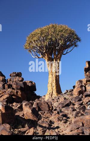 Quiver tree ((Aloidendron dichotomum) growing amongst Dolerite rock near Keetmanshoop, Namibia. - Stock Photo