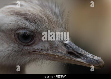 Rhea head study, view of bill, nostrils and eye, the feathers lack any barbs so more hairy in looks, this view is looking down on the birds head. - Stock Photo