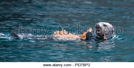 An otter swims, holding onto a Basket Star, Gorgonocephalus eucnemis, at the Inian Islands. - Stock Photo