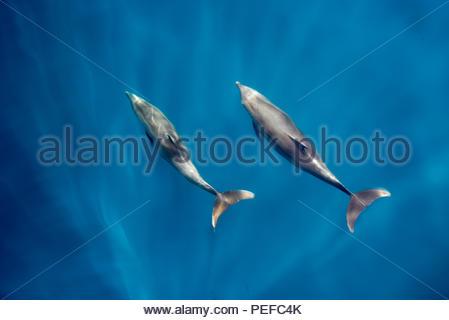 Bottlenose dolphins bow riding. - Stock Photo